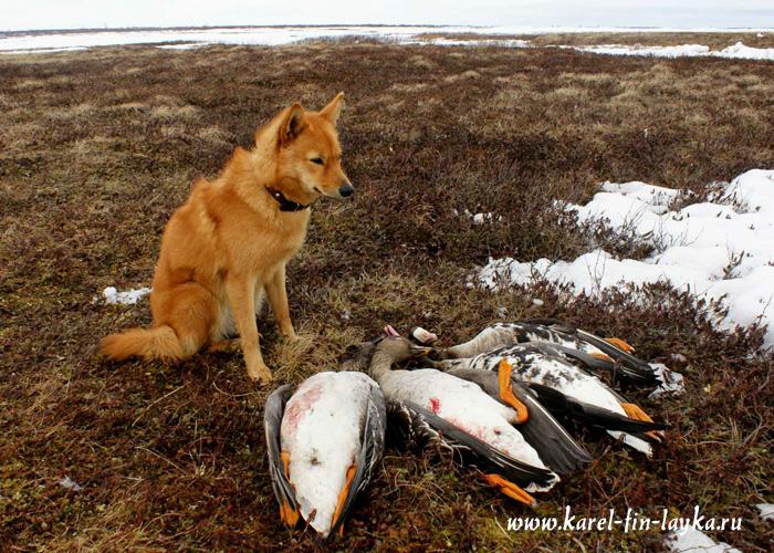 Оригинальная фотография.  Карело-финская лайка и охота.