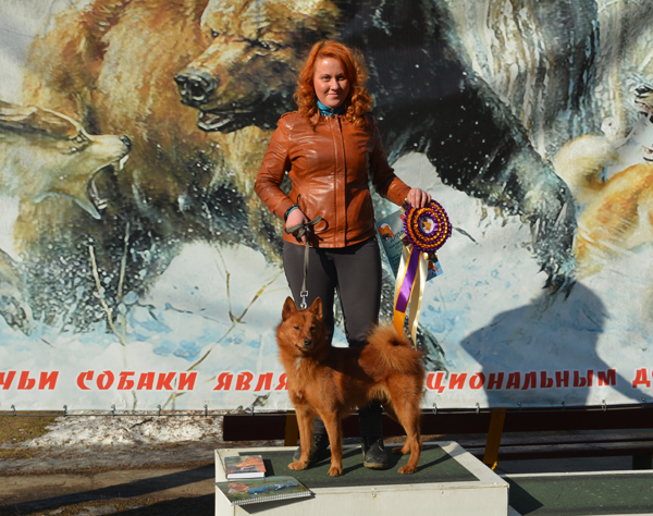 карело-финская лайка щенки
