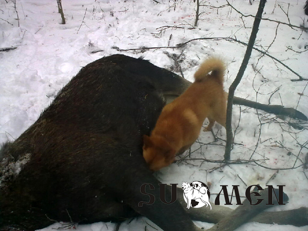 карело-финская лайка лось