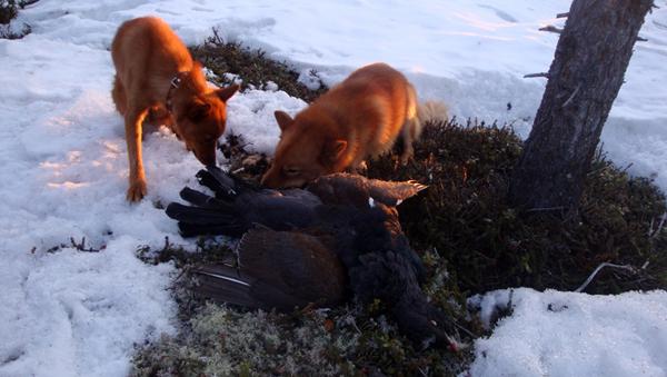 карело-финская лайка боровая дичь