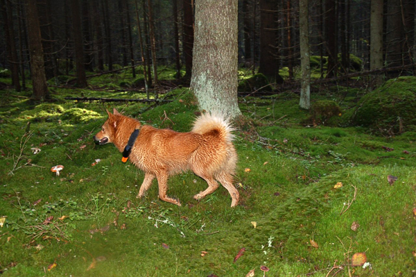 испытания поптице карело-финская лайка