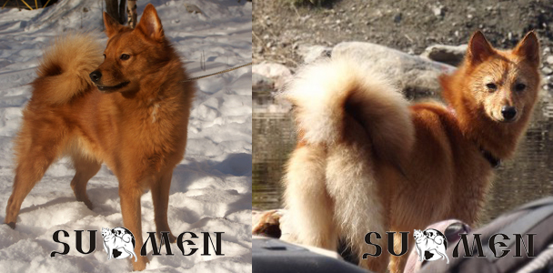 puppies of finnish spitz