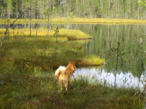 карело-финская лайка укко