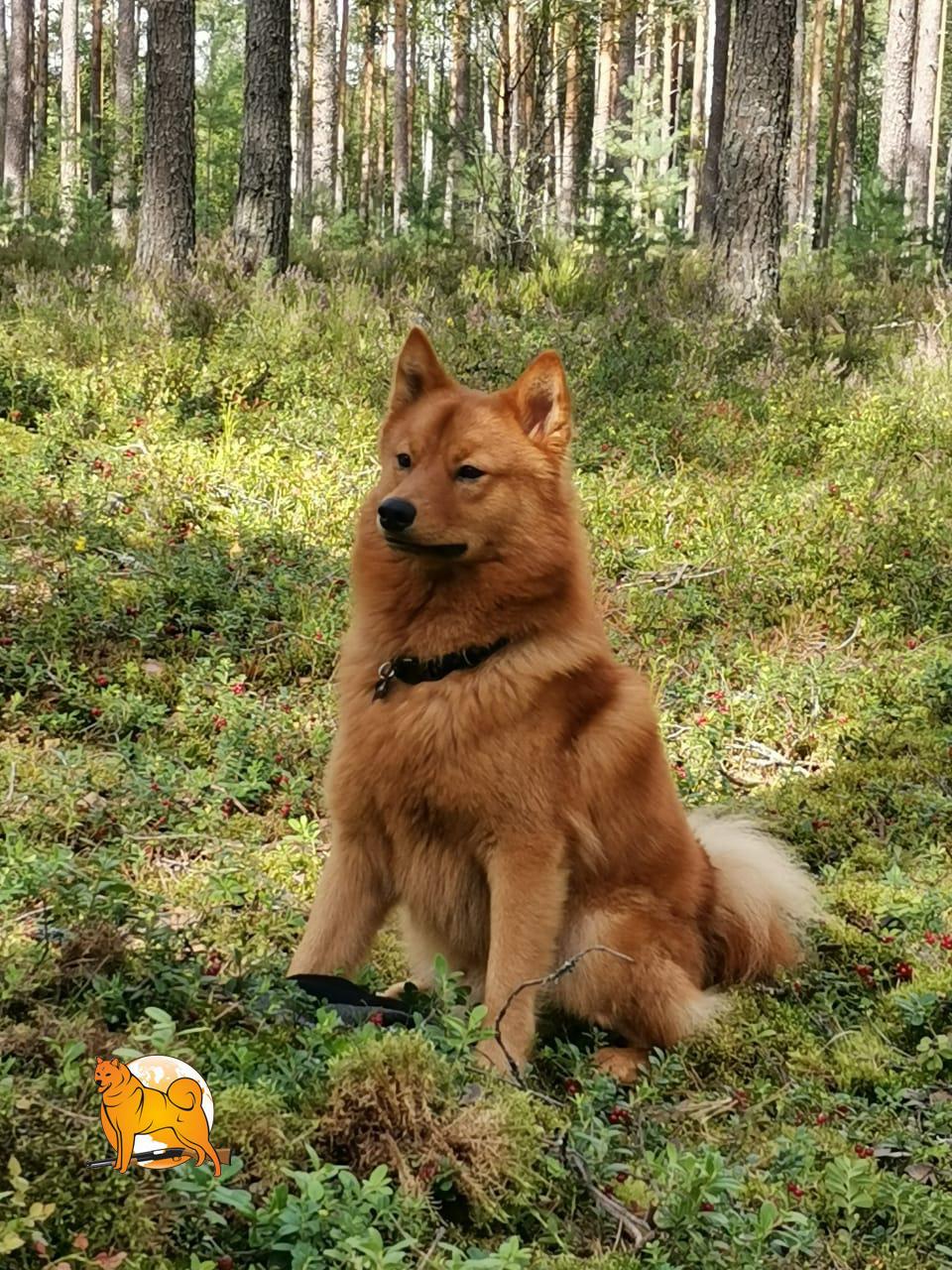 Туики щенок карело-финской лайки